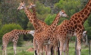 You don't need to travel far in Melbourne to see the world's most exotic, endangered animals. Book a safari tour at Werribee Open Range Zoo!